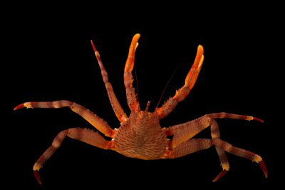 Photo: A scaled crab (Placetron wosnessenskii) at the Alaska SeaLife Center.
