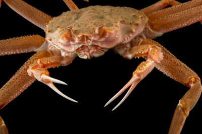 Photo: A tanner crab (Chionoecetes bairdi) at the Alaska SeaLife Center.