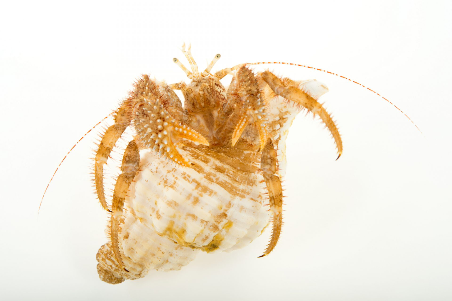 Photo: Blue spine hermit crab (Pagurus kennerlyi) at the Alaska SeaLife Center.