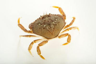 Photo: Dungeness crab (Metacarcinus magister) at the Alaska SeaLife Center.