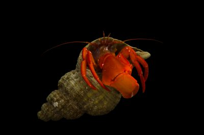Photo: Pacific red hermit crab (Elasdochirus gilli) at the Alaska SeaLife Center.