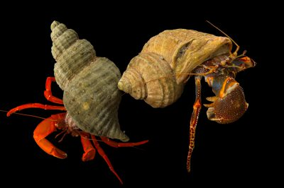 Photo: Pacific red hermit crab (Elasdochirus gilli) and whitehand hermit crab (Elassochirus tenuimanus) at the Alaska SeaLife Center.