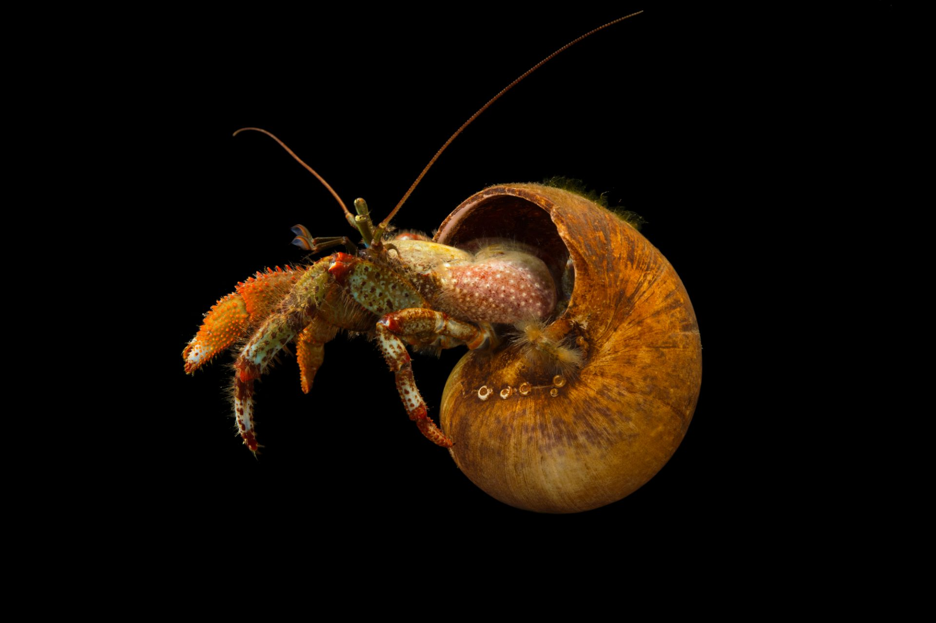 Photo: Bering hermit crab (Pagurus beringanus) at the Alaska SeaLife Center.