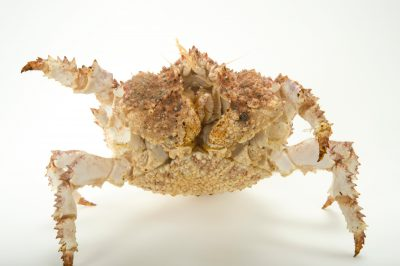 Photo: Brown box crab, Lopholithodes foraminatus, at the Alaska SeaLife Center.