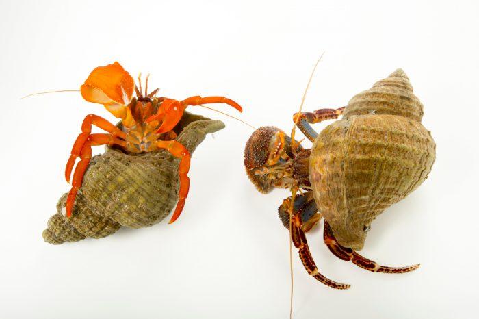 Photo: Pacific red hermit crab, Elasdochirus gilli, and whitehand hermit crab, Elassochirus tenuimanus, at the Alaska SeaLife Center.