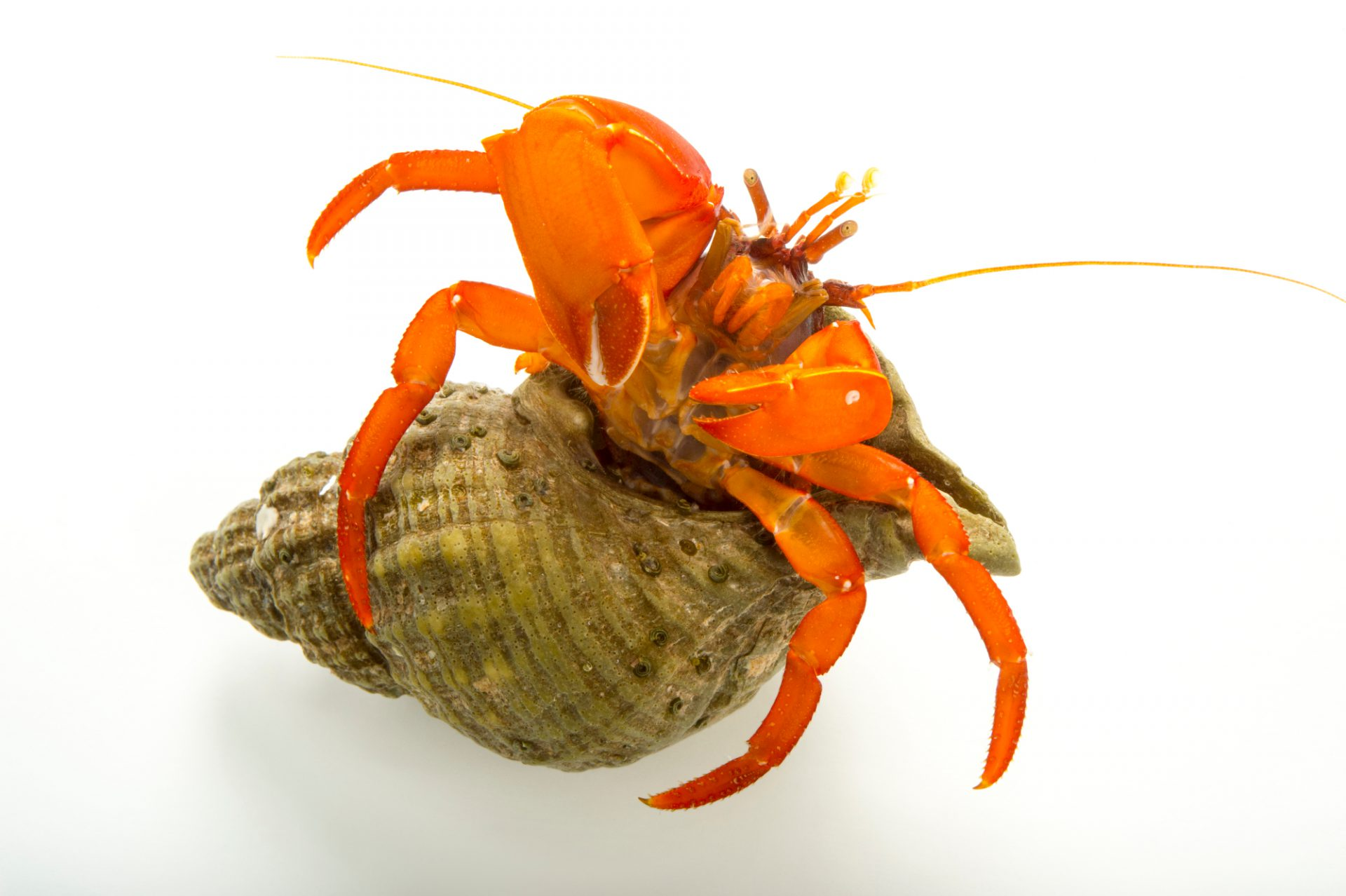 Photo: Pacific red hermit crab, Elasdochirus gilli, at the Alaska SeaLife Center.