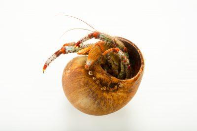 Photo: Bering hermit crab, Pagurus beringanus, at the Alaska SeaLife Center.