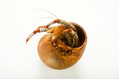 Photo: Bering hermit crab, Pagurus beringanus, at the Alaska SeaLife Center.