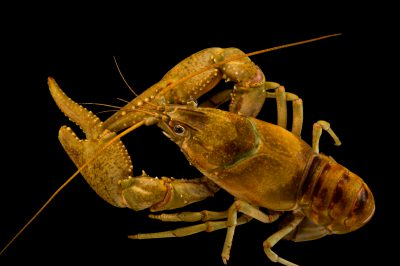 Photo: A Spothanded crayfish, Orconectes punctimanus, wild caught near West Liberty, West Virginia.