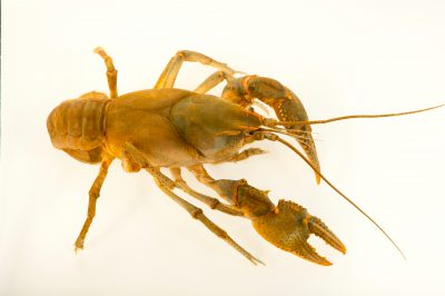 Photo: A valley flame crayfish, Cambarus deweesae, wild caught near West Liberty, West Virginia.