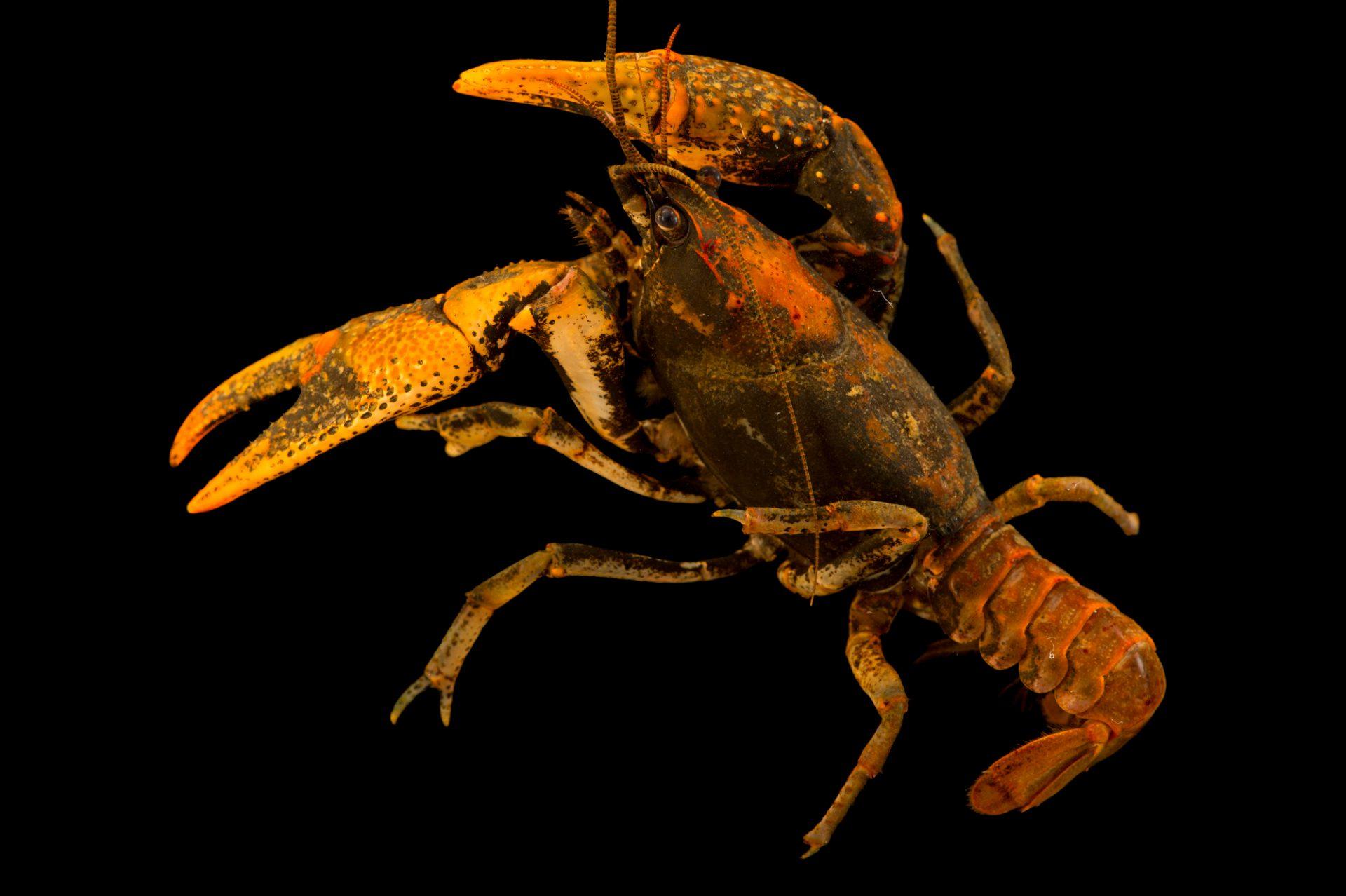 Photo: A little brown mudbug, Cambarus thomai, wild caught near Sulphur Wells, Kentucky.
