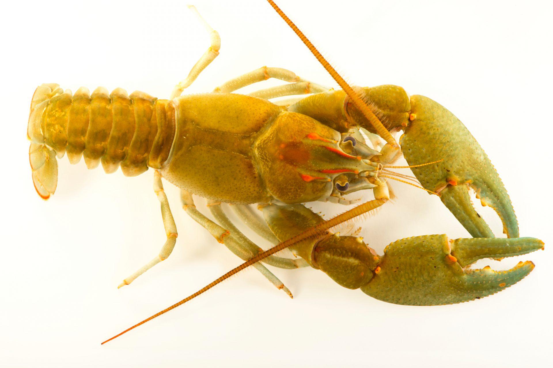 Photo: A Bottlebrush crayfish, Barbicambarus cornutus, wild caught near West Liberty, West Virginia.