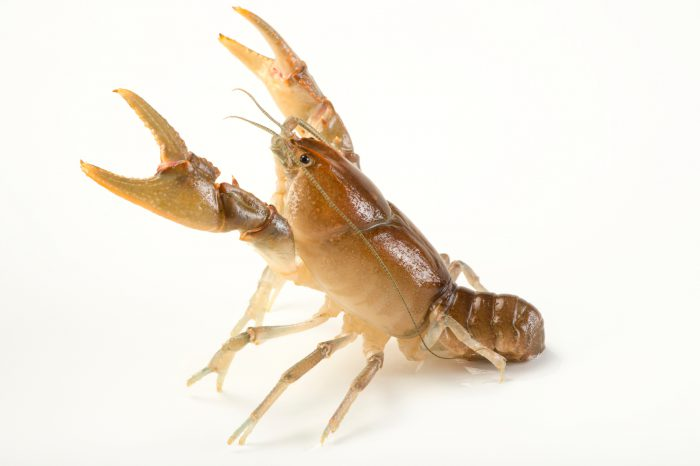 Photo: A two spot crayfish, Cambarus graysoni, wild caught near West Liberty, West Virginia.