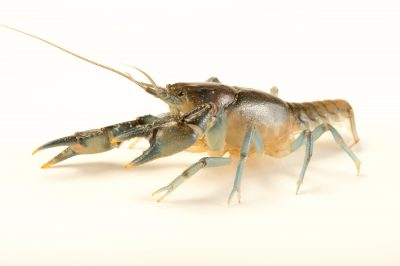 Photo: A Meadow River Mudbug, Cambarus pauleyi, wild caught near West Liberty, West Virginia.