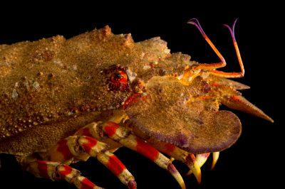 Photo: Slipper lobster or bulldozer lobster (Scyllarides nodifer) at Gulf Specimen Marine Lab.