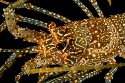 Photo: Spotted spiny lobster (Panulirus guttatus) at the Oklahoma City Zoo.