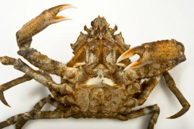 Photo: Pacific lyre crab (Hyas lyratus) at the Alaska SeaLife Center in Seward, AK.