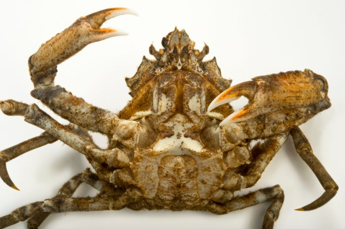 Photo: Pacific lyre crab (Hyas lyratus) at the Alaska SeaLife Center in Seward, AK.