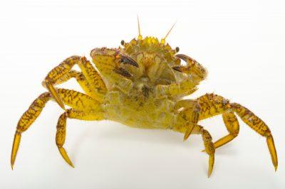 Photo: Helmet crab (Telmessus cheiragonus) at the Alaska SeaLife Center in Seward, AK.