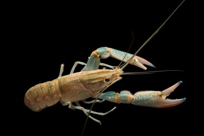 Photo: Red claw crayfish (Cherax quadricarinatus) at Zoo Negara.