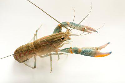 Photo: Red claw crayfish (Cherax quadricarinatus) at Zoo Negara.