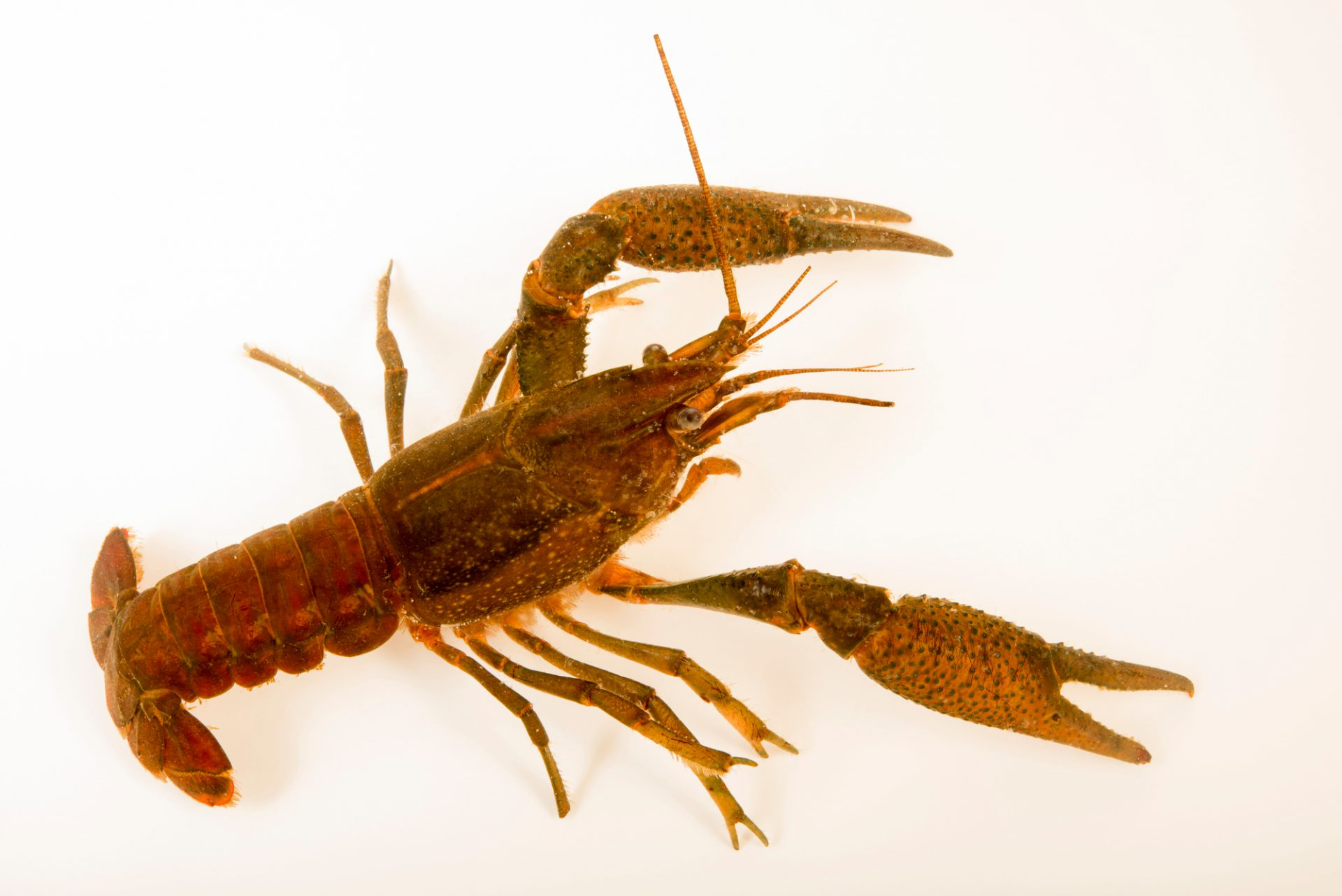 Photo: Deceitful crayfish (Procambarus fallax) collected at Beecher Springs Run, a stream on the grounds of Welaka National Fish Hatchery.