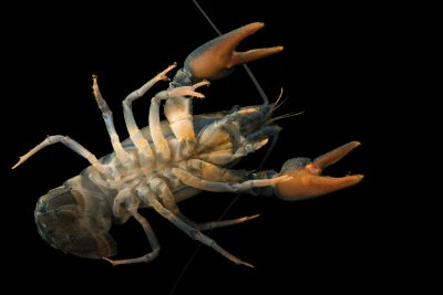 Photo: European crayfish (Astacus astacus) at Alpenzoo in Innsbruck, Austria.