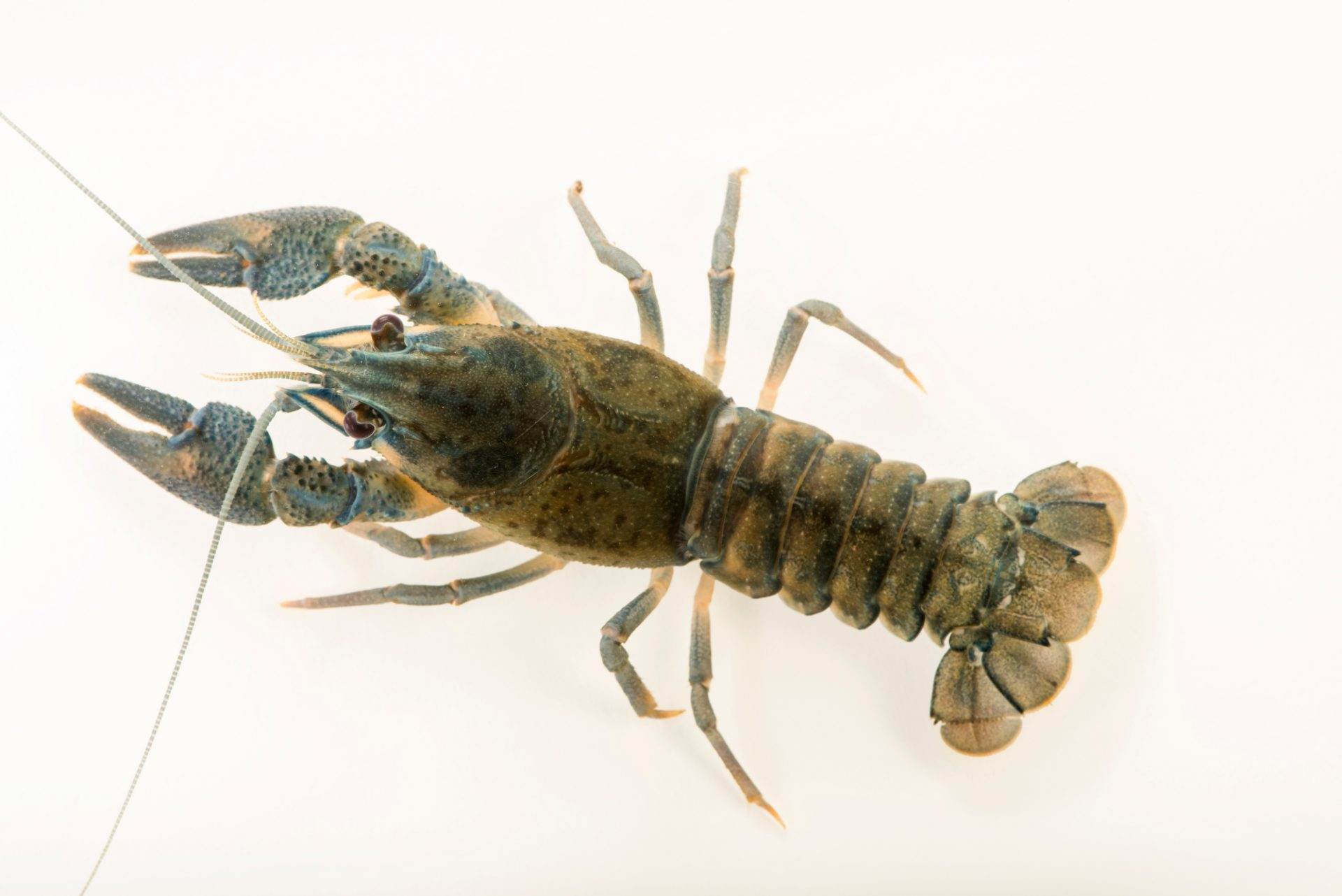 Photo: European crayfish (Astacus astacus) at Alpenzoo in Innsbruck, Austria.