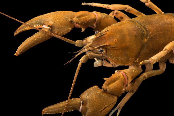 Photo: Robust crayfish (Cambarus robustus) at West Liberty University Crayfish Lab, West Liberty, WV. Collected from the wild.