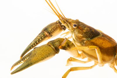 Photo: Spot-handed crayfish (Orconectes punctimanus) from the wild.