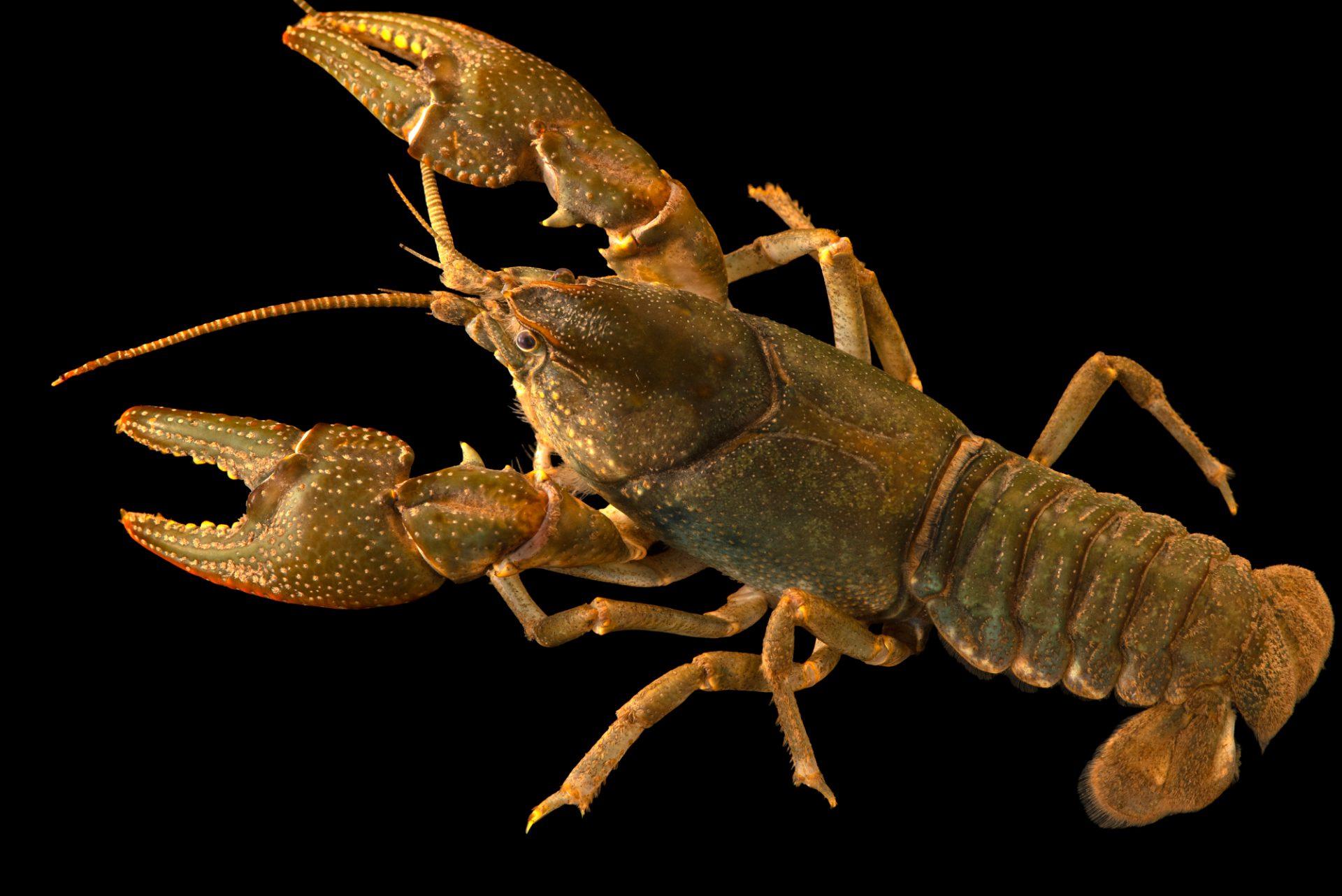 Photo: Common crayfish (Cambarus bartonii) from the wild.