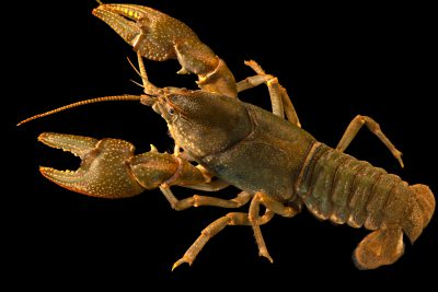 Photo: Common crayfish (Cambarus bartonii) from the wild.