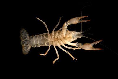 Photo: Calico crayfish (Orconectes immunis) from the wild.