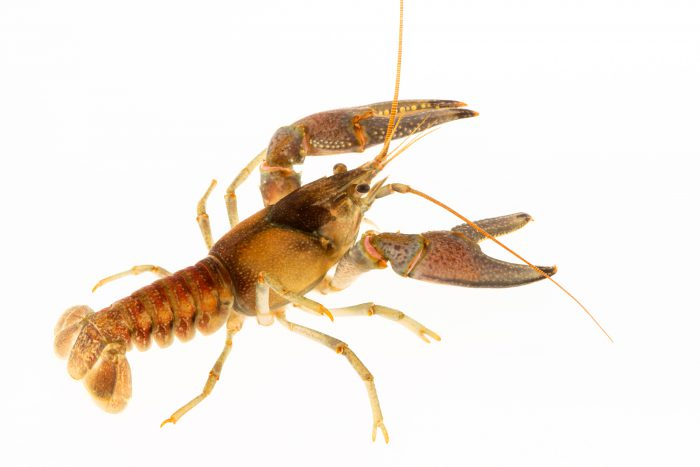 Photo: Bigclaw crayfish (Orconectes placidus) from the wild.