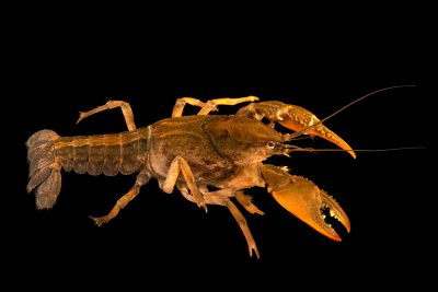 Photo: Digger crayfish (Fallicambarus fodiens) from the wild.