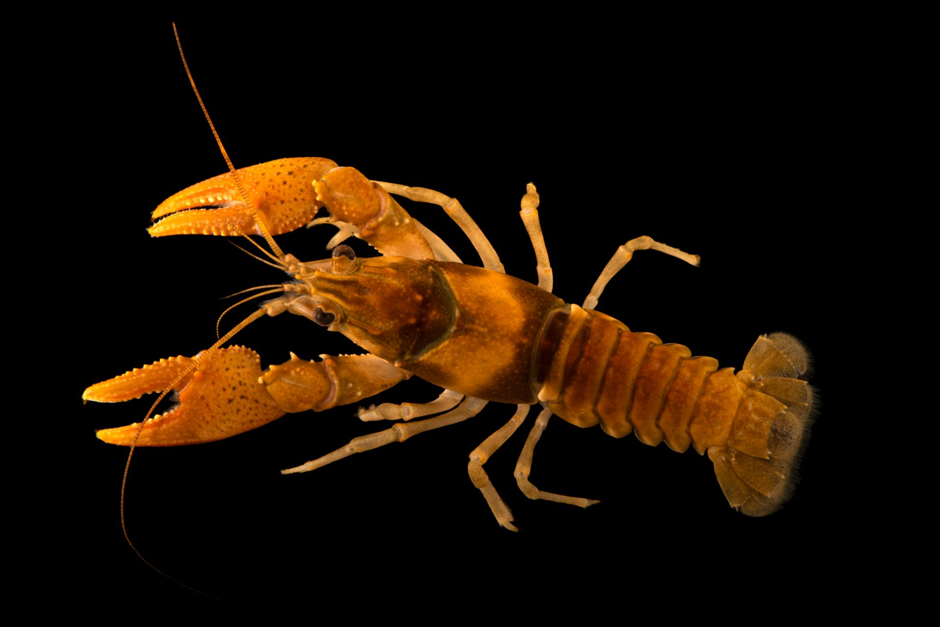 Photo: Mammoth Spring crayfish (Orconectes marchandi) from the wild.