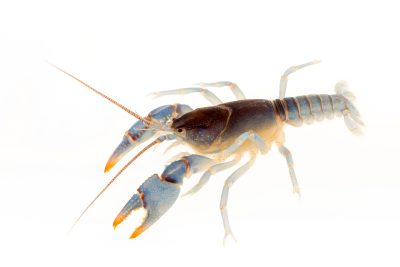 Photo: Blue crayfish (Cambarus monongalensis) from the wild.
