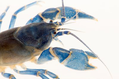 Photo: Allegheny mudbug (Cambarus monongalensis) from the wild.