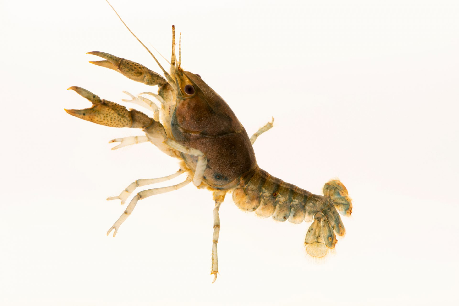 Photo: Brushpalm crayfish (Procambarus pubischelae) from the wild.