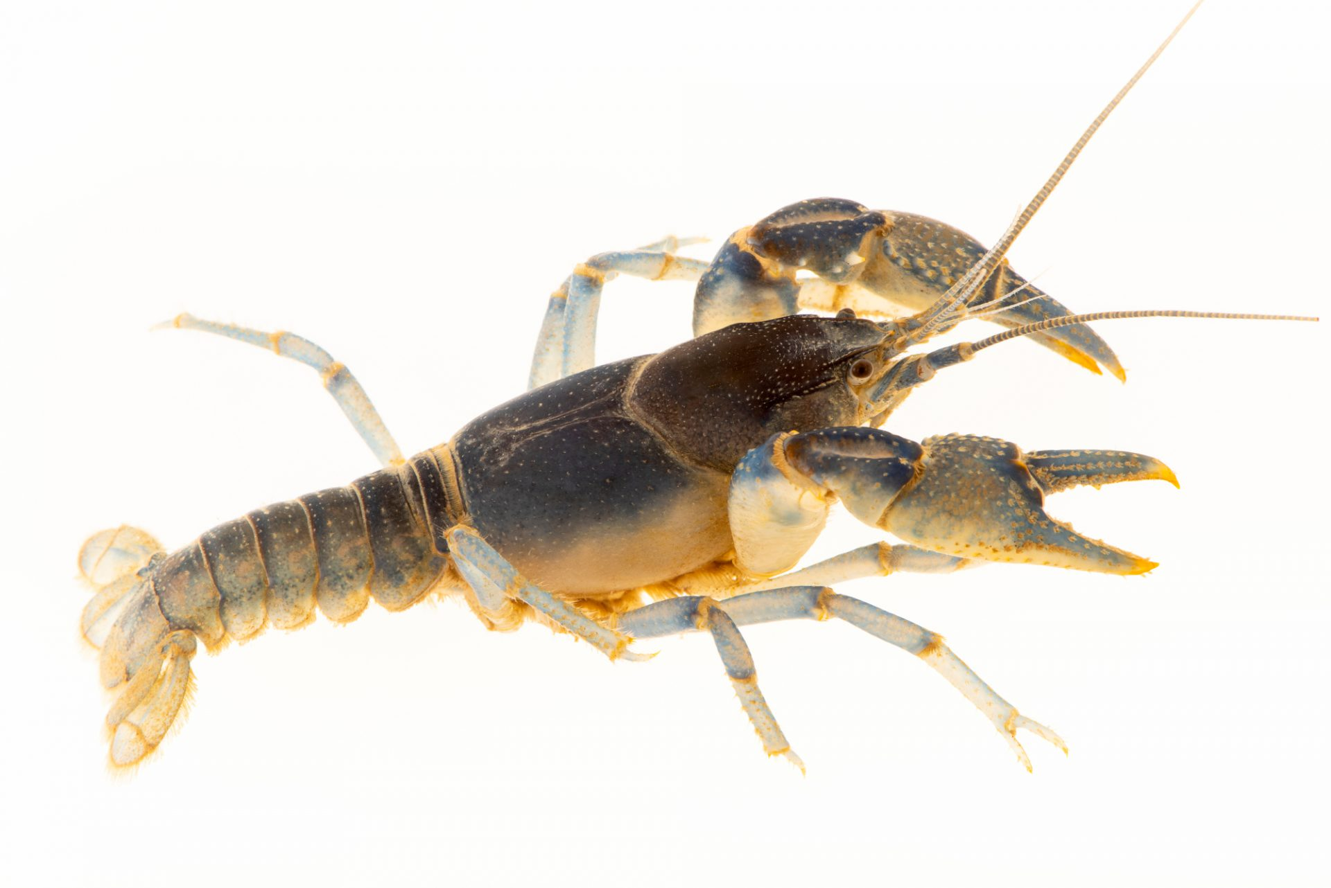 Photo: Teays Valley mudbug (Cambarus dubius) from the wild.