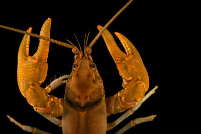 Photo: Conohway crayfish (Cambarus appalachiensis) from the wild.