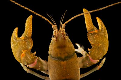 Photo: Teays River crayfish (Cambarus sciotensis) from the wild.