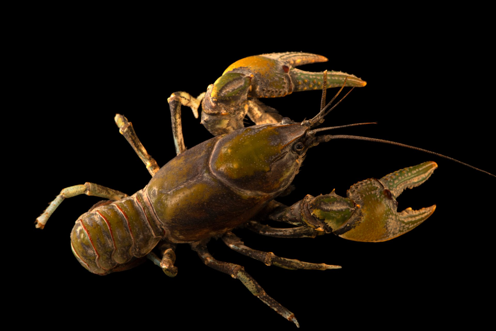 Photo: Devil crayfish (Cambarus diogenes) from the wild.