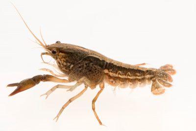 Photo: Panama City crayfish (Procambarus econfinae) from the wild, caught near Panama City, Florida.