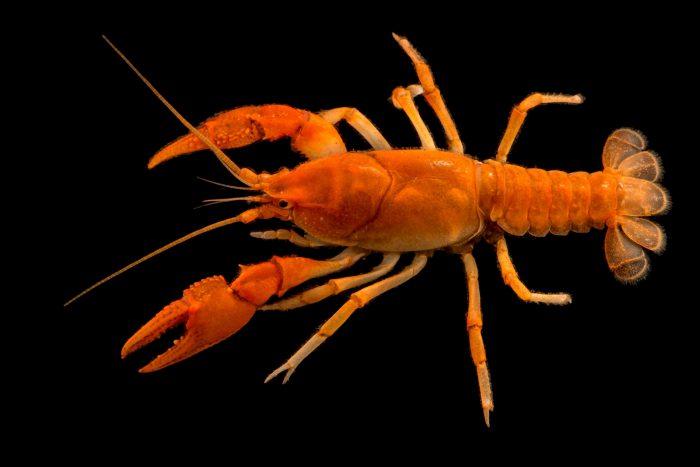 Photo: A fireback crayfish (Cambarus pyronotus) from the wild.