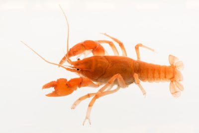 Photo: Fireback crayfish (Cambarus pyronotus) Not state or fed listed, only because it is protected by Torrey State Park.