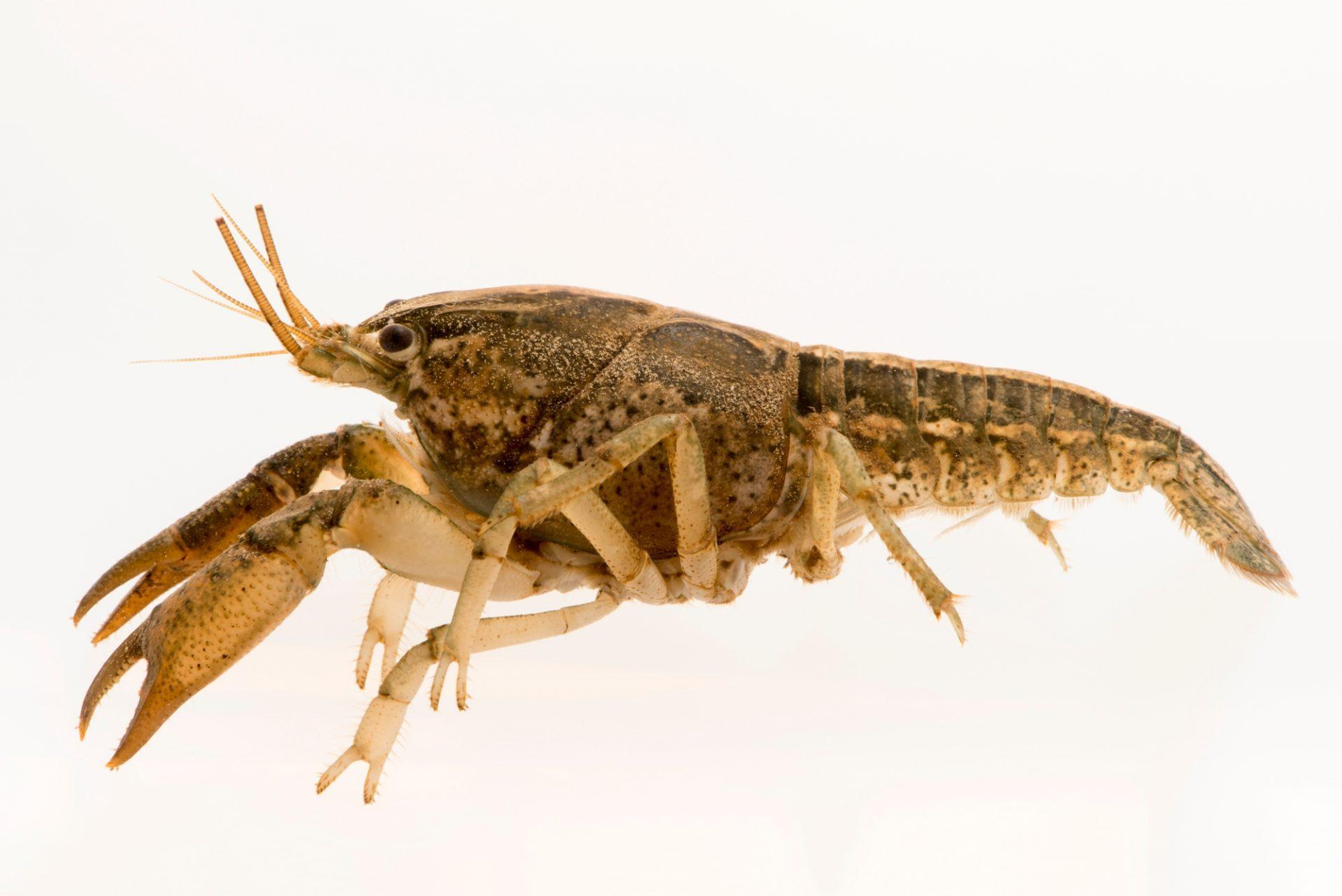 Photo: Coastal flatwoods crayfish (Procambarus apalachicolae) caught in the wild near Panama City, in Bay County, Florida.