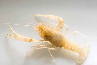 Photo: Big Blue Spring cave crayfish (Procambarus horsti), one of four petitioned crayfish, found in Jefferson and Leon Counties in NW Florida.