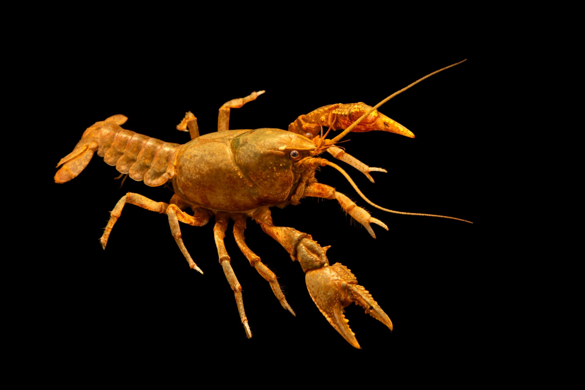Photo: Sickle crayfish, Cambarus reduncus, at West Liberty University in West Liberty, WV. This specimen is from Raleigh, NC.