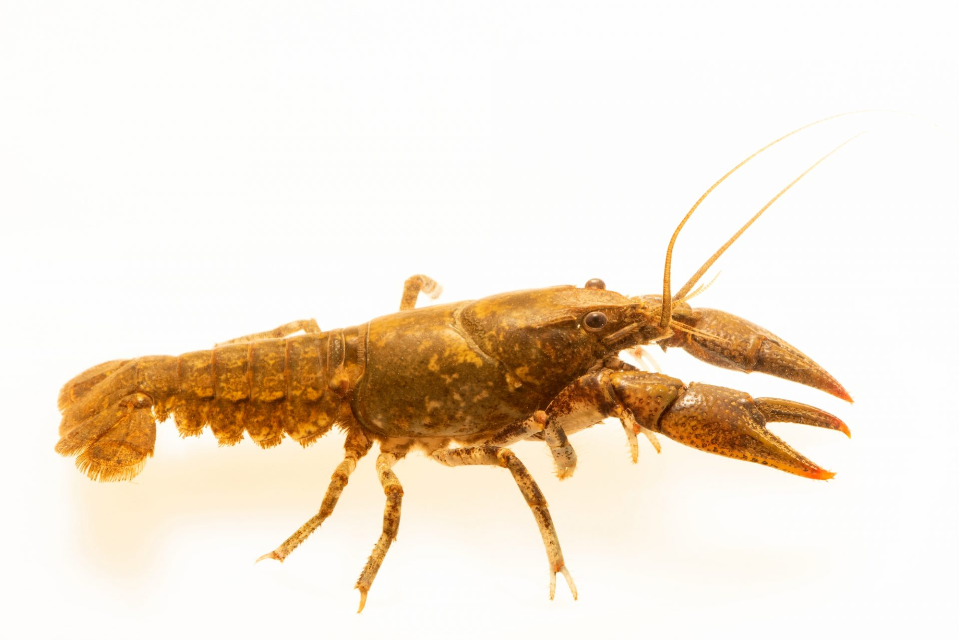 Photo: Big South Fork crayfish, Cambarus bouchardi, at West Liberty University in West Liberty, WV. This specimen is from Roaring Ponch Creek, TN